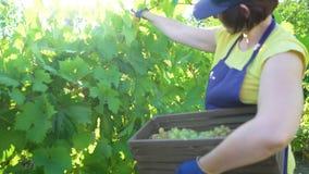 Het Kaukasische wijfje in blauwe schort en het tuinieren gloves het oogsten druiven in wijngaard stock video