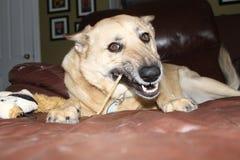 Het kauwen van de hond been Stock Afbeelding
