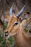 Het kauwen van de impala gras Stock Foto's