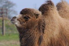 Het kauwen van de kameel gras stock afbeeldingen