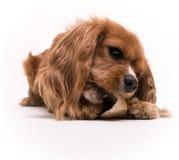 Het Kauwen van het puppy op een stuk speelgoed - Arrogante Koning Charles   Royalty-vrije Stock Afbeeldingen