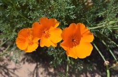Het kijken binnen een Trio van Californië Poppy Flowers royalty-vrije stock foto's