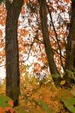 Het kijken door het boskreupelhout openbaart oranje en rode kleuren van de bladeren die in de herfst veranderen royalty-vrije stock afbeelding