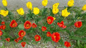 Het kijken neer in tulpenhoofden Royalty-vrije Stock Foto