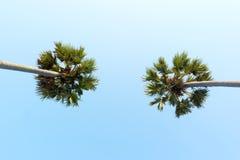 Het kijken omhoog aan de hemel en de zeer hoge tropische palmen Stock Afbeeldingen