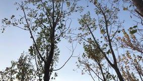Het kijken omhoog aan de hemel en het lopen onder de bomen met droge bladeren stock footage