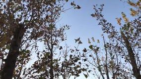 Het kijken omhoog aan de hemel en het lopen onder de bomen met droge bladeren stock videobeelden
