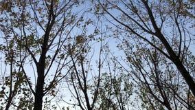 Het kijken omhoog aan de hemel en het spinnen rond de bomen langzaam met droge bladeren stock videobeelden