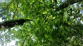 Het kijken omhoog in bos, POV door bovenkanten van bomen, zon glanst door gebladerte stock footage