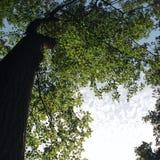 Het kijken omhoog in de bomen Knippend inbegrepen weg Oude foto Stock Foto
