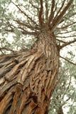 Het kijken omhoog de boomstam van een lange pijnboomboom royalty-vrije stock afbeeldingen