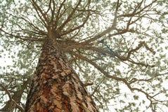 Het kijken omhoog de boomstam van een lange pijnboomboom Royalty-vrije Stock Foto