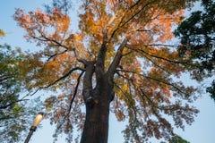 Het kijken omhoog de esdoornboom in Taichung-Wereld Flora Exposition royalty-vrije stock afbeeldingen