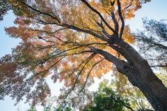 Het kijken omhoog de esdoornboom in Taichung-Wereld Flora Exposition stock afbeelding