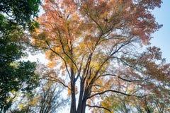 Het kijken omhoog de esdoornboom in Taichung-Wereld Flora Exposition royalty-vrije stock afbeelding