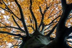 Het kijken omhoog in de luifel van een de herfstboom Stock Foto