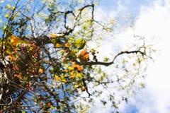 Het kijken omhoog door Autumn Leaves aan een Blauwe Hemel Royalty-vrije Stock Foto's