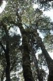 Het kijken omhoog door boomboomstammen en de luifel aan de hemel Stock Foto