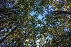 Het kijken omhoog door de Beuk bosluifel Stock Afbeelding