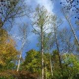 Het kijken omhoog door de bomen in vroege daling Royalty-vrije Stock Foto's