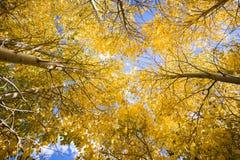 Het kijken omhoog in een bosje van espbomen royalty-vrije stock fotografie
