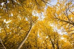 Het kijken omhoog in een bosje van espbomen stock fotografie