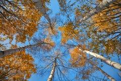 Het kijken omhoog in het de herfstbos (van onderaan) Stock Foto's