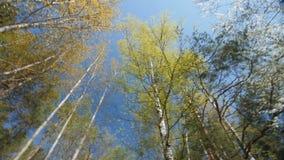 Het kijken omhoog onder de luifel van bomen De lente stock video
