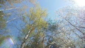 Het kijken omhoog onder de luifel van bomen De lente stock videobeelden