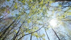 Het kijken omhoog onder de luifel van een lijsterbessenstruik De lente stock video