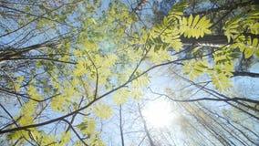 Het kijken omhoog onder de luifel van een lijsterbessenstruik De lente stock footage