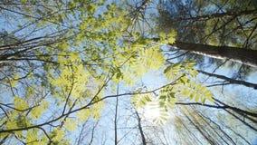 Het kijken omhoog onder de luifel van een lijsterbessenstruik De lente stock videobeelden