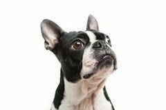 Het kijken van Boston Terrier Stock Afbeeldingen