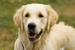 Het kijken van de hond Royalty-vrije Stock Foto's