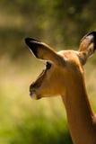 Het kijken van de impala Stock Afbeeldingen