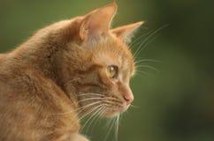 Het kijken van de kat Stock Afbeelding