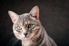 Het kijken van de kat Stock Foto's