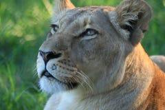 Het kijken van de leeuwin Royalty-vrije Stock Afbeeldingen