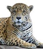 Het kijken van de luipaard Stock Afbeeldingen