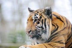Het kijken van de tijger stock afbeelding