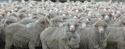 Het kijken van schapen Royalty-vrije Stock Afbeeldingen