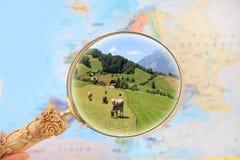 Het kijken in vee in Zwitserland royalty-vrije stock afbeelding