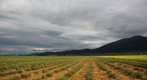 Het kijkt als het hellende gebied van lavendel Royalty-vrije Stock Fotografie