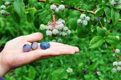 Het kind plukt bluberries en houdt bessen in de palm Stock Afbeelding