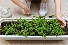 Het kind raakt zacht de spruiten van groen stock foto