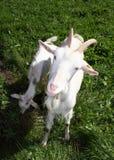 Het kindermeisje van de geit Stock Foto's