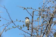 Het klauwier van vogelwoodchat Royalty-vrije Stock Foto