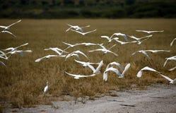Het kleine Aigrettes Vliegen royalty-vrije stock afbeeldingen