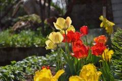 Het kleine bed van de tulpenbloem in de tuin met vijver Royalty-vrije Stock Afbeeldingen