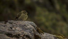 Het kleine bergvogel weten op een rots stock fotografie